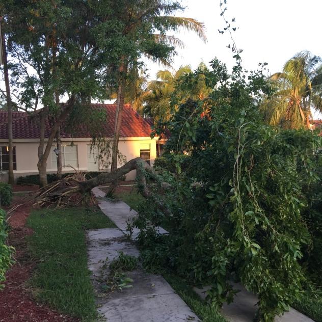 Huge tree uprooted